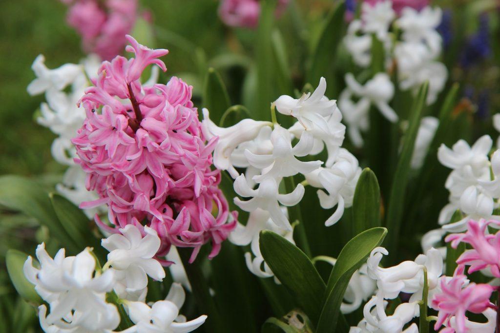 Růžový a bílý hyacint