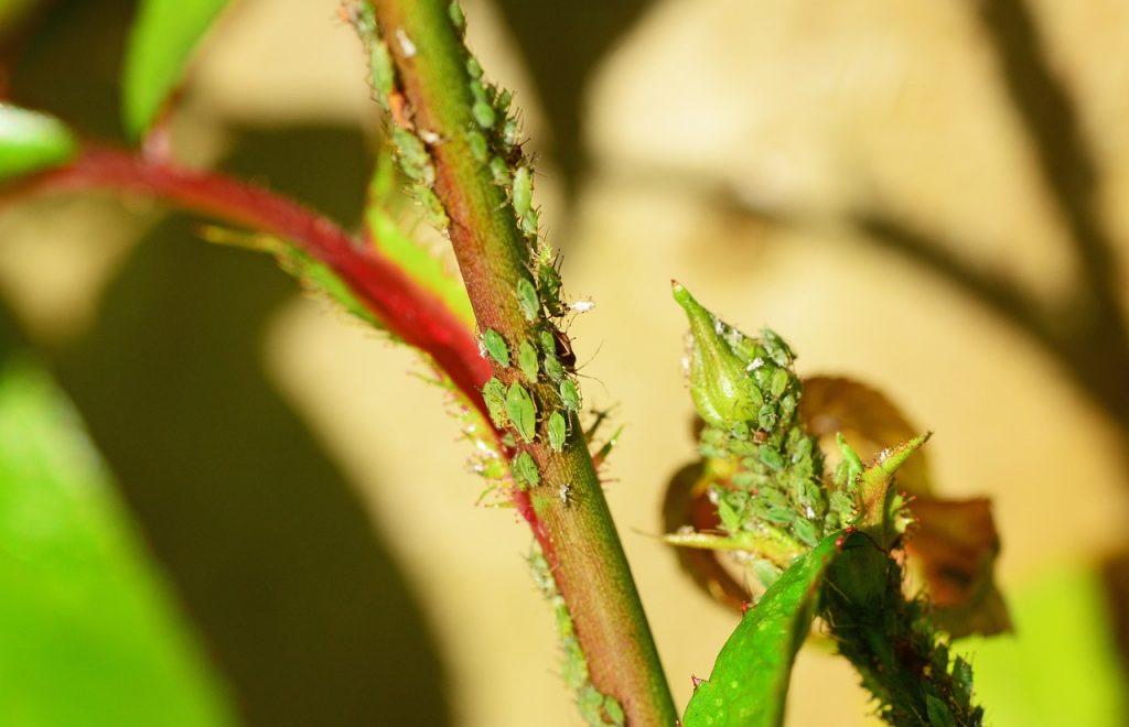 Rostlina napadená mšicemi
