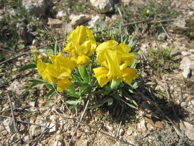Kvetoucí žlutý kosatec
