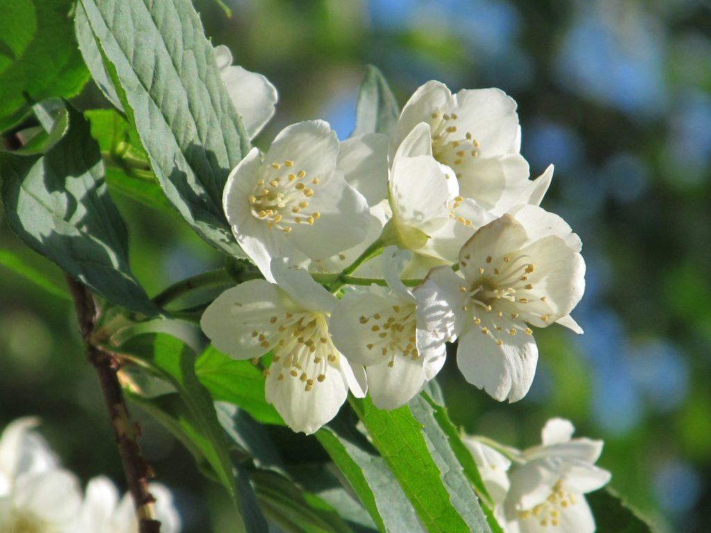 Kvetoucí jasmín