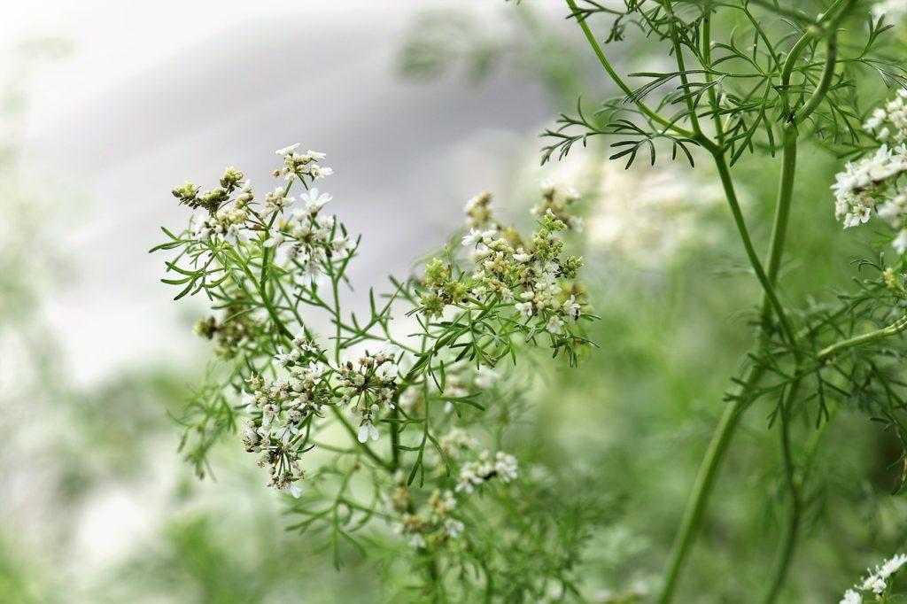 Květy a čárkovité listy koriandru setého