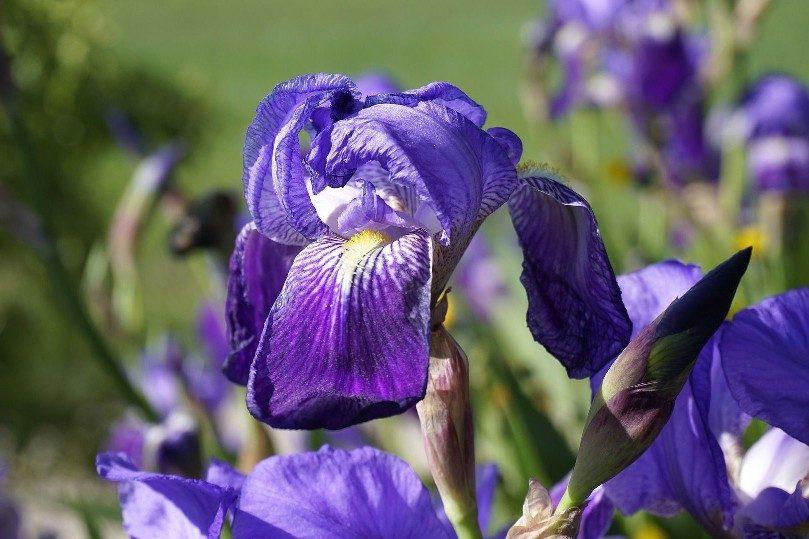 Kvetoucí modrý kosatec