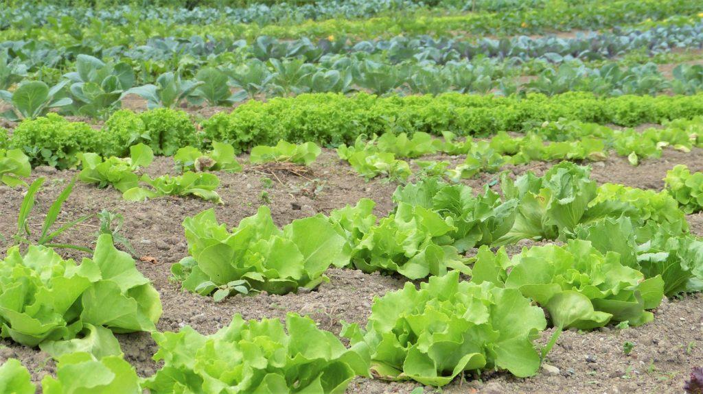 Pěstování salátů