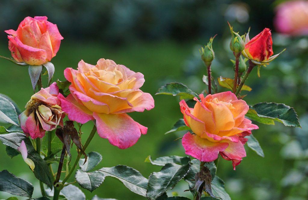 Kvetoucí barevné růže