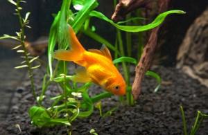 Akvaristika zlatá rybka