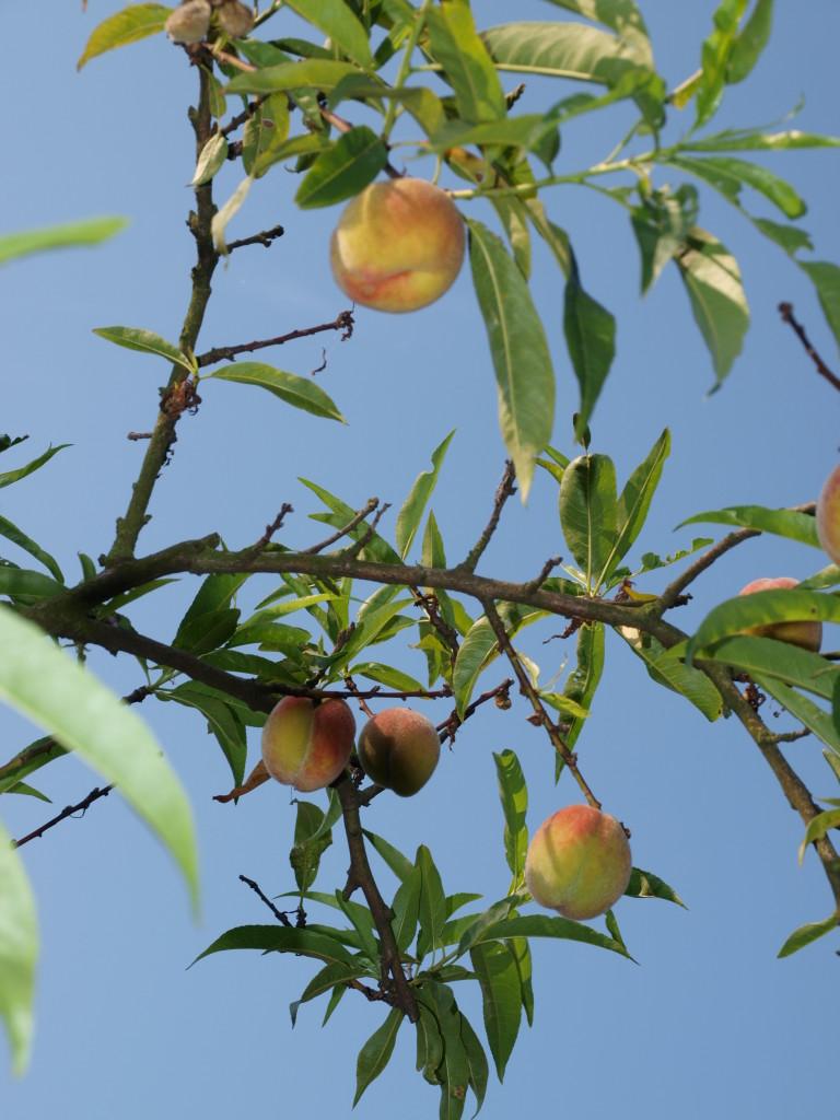 Broskvoň a nektarinka 2
