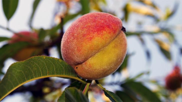 Broskvoně a nektarinky: Vypěstujte si vlastní chutné ovoce