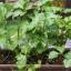 Pěstovat celer v truhlíku? Jde to!