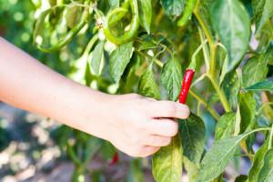 Červená chilli paprička