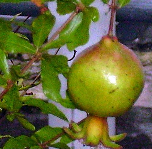 Granátové jablko nezralé