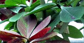 Synadenium gumovník