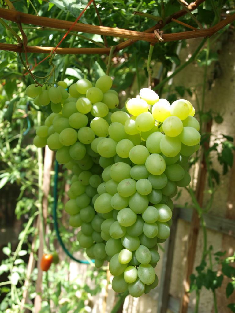 Střapce - hroznové víno