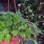 Pěstujeme lesní jahody v truhlíku