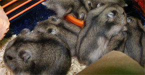 Křečci – rozmnožování a chov mláďat