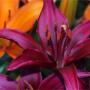 Lilie: Krásky našich zahrad
