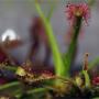 Masožravé rostliny neukousnou ani začátečníka