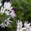 """Medvědí česnek: """"Trendy"""" bylinka plná jarní energie"""