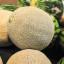 Melouny – letní osvěžení