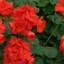 Květinový truhlík rozzáří muškáty