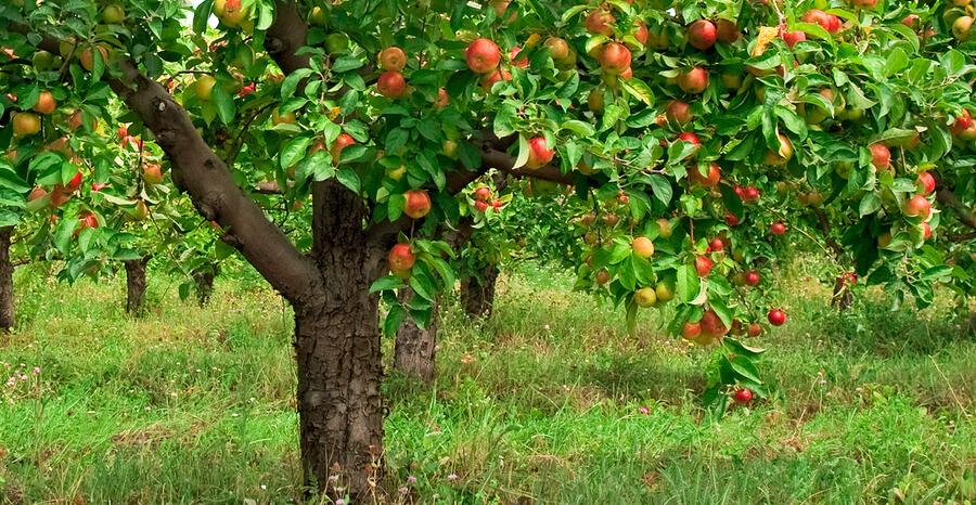 Čerstvé regionální ovoce a zelenina (Náhled: Jabloň)
