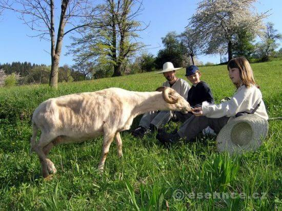 Paseni ovcí