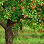 Zakládáme ovocnou zahradu – na co si dát pozor?