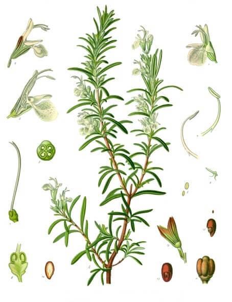 Nákres bylinky - rozmarýn lékařský
