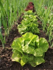 Hlávkový salát na zahradě