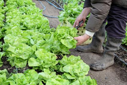 Sklizeň salátu
