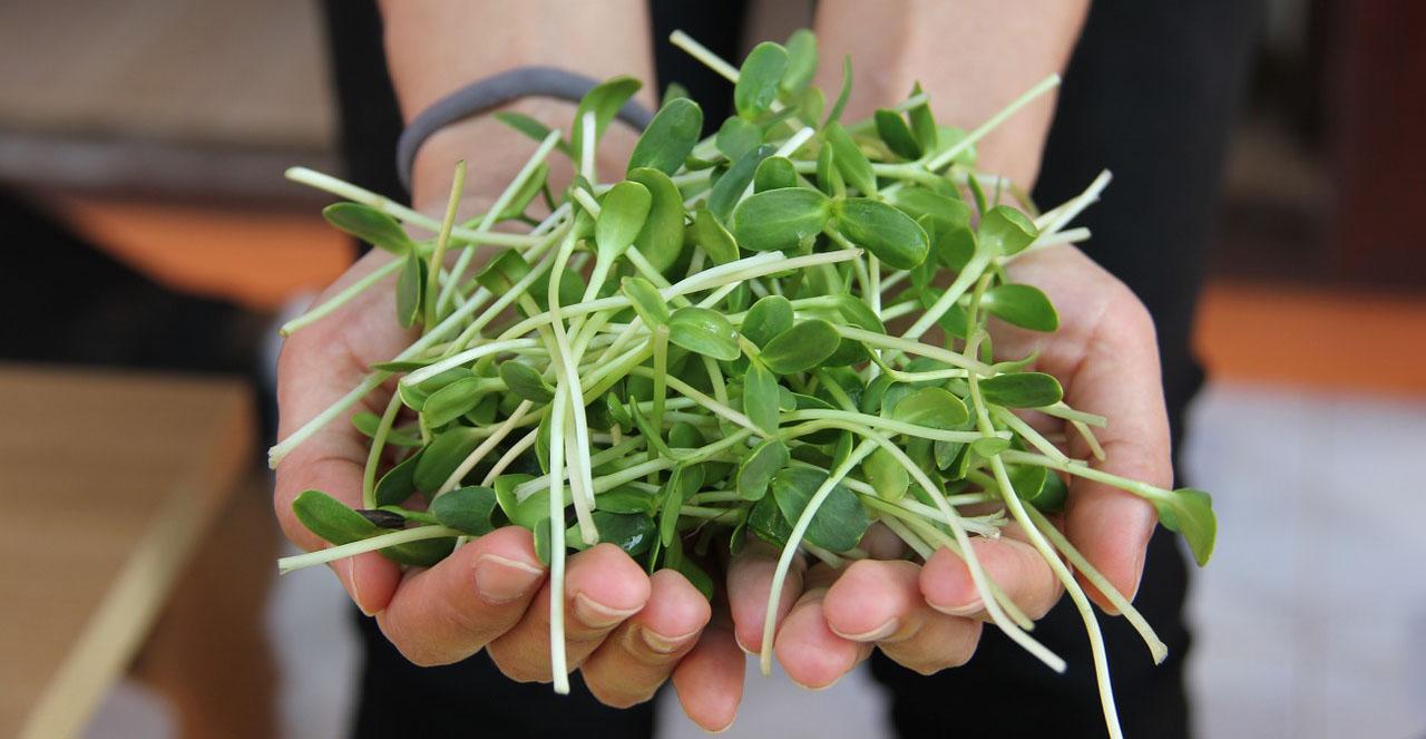 Vypěstujte si klíčky (na fotce slunečnicové výhonky v dlaních)