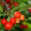Zaostřeno na třešně: Informace o plodech a recepty