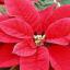 Vánoční květiny – jak je vybrat a udržovat krásné?