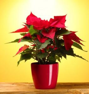 Vánoční hvězda v květníku