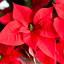 Vánoční hvězda – vytrvalá zimní kráska