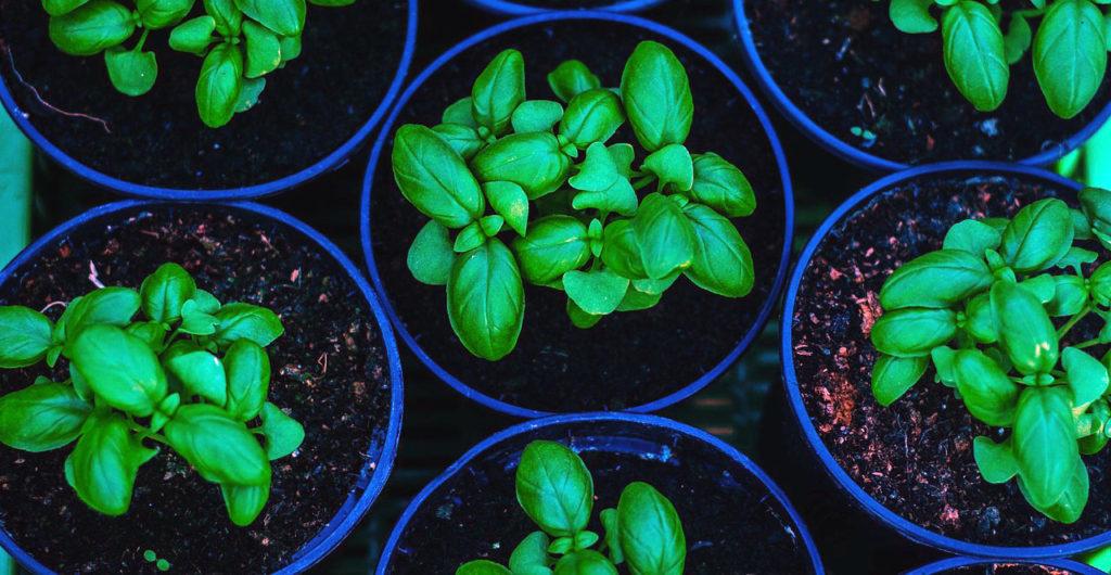 Vysévání množení bylinek - náhled