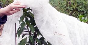 Ochrana stálezelených rostlin před mrazem